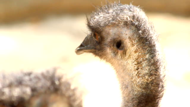 emu face - canberra stock videos & royalty-free footage