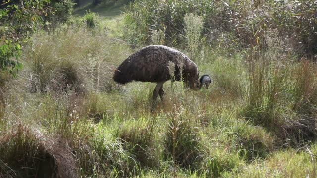emu feeding - emu stock videos & royalty-free footage