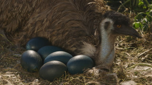 emu sitting with it's eggs - egg stock videos & royalty-free footage