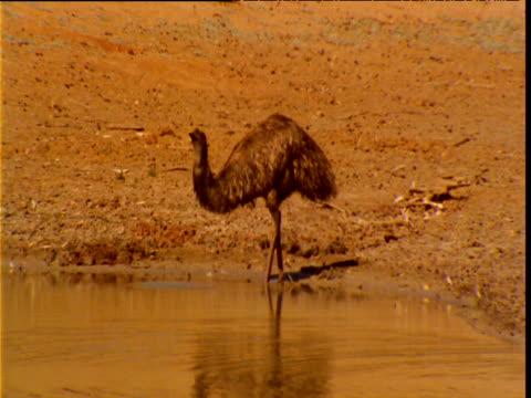 emu stands and drinks from waterhole in outback, new south wales, australia - böja sig bildbanksvideor och videomaterial från bakom kulisserna