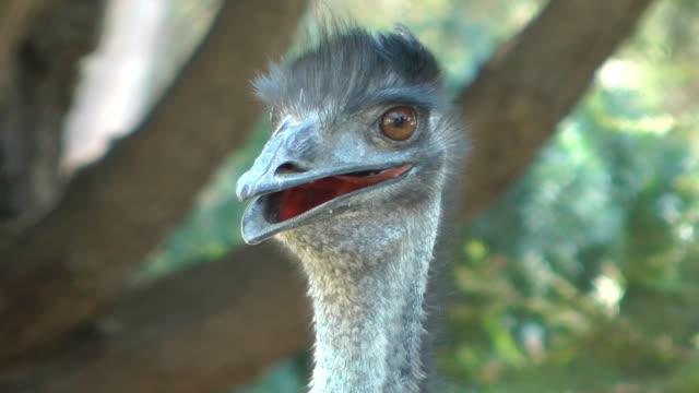 emu - emu stock videos & royalty-free footage