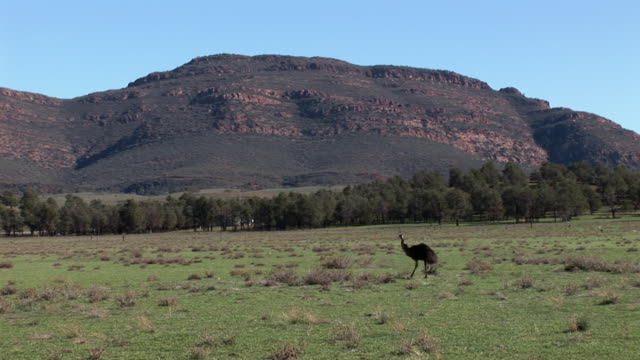 ws pan emu (dromaius novaehollandiae) walking on grassy field, flinders ranges in background, south australia, australia - emu stock videos & royalty-free footage