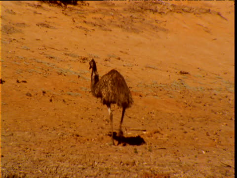 Emu wanders over sandy outback, New South Wales, Australia