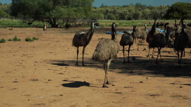 emus chasing each other - emu stock videos & royalty-free footage