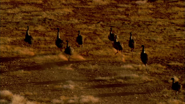 emus run across a grassy plain. - emu stock videos & royalty-free footage