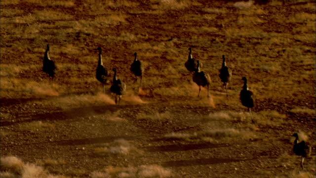 vidéos et rushes de emus run across a grassy plain. - oiseau qui ne vole pas