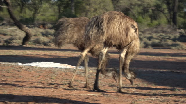 emus - emu stock videos & royalty-free footage