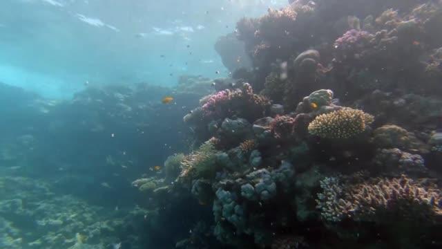 vídeos y material grabado en eventos de stock de en aguas cristalinas de color turquesa unas pequenas medusas rosadas rodean a aficionados al submarinismo llegados de todo el mundo para admirar las... - cnidario