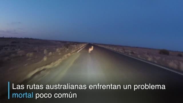 En Australia cada vez mas canguros y otros animales nativos se acercan a zonas urbanas y rutas motivados por una dura sequia lo que genera un aumento...