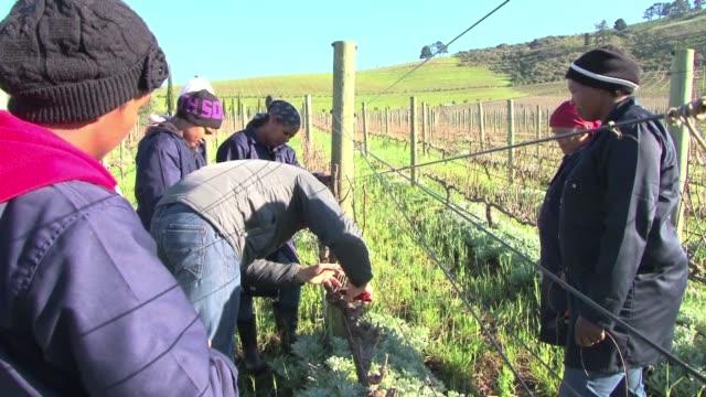 vídeos de stock, filmes e b-roll de en el competitivo mundo de los vinos sudafricanos una vina espera hacer la diferencia de una forma muy melodiosa - vino