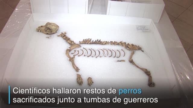 en el principal zoologico del peru aun yacen misterios de los antepasados arqueologos han encontrado restos de perros sacrificados al lado de tumbas... - arqueologia stock videos & royalty-free footage