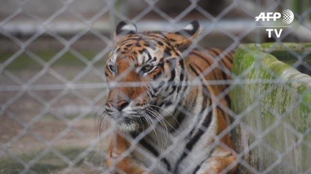 en tailandia comenzo una carrera contrarreloj para rescatar a unos 60 tigres confiscados en 2016 a un templo que los utilizaba como atraccion... - rescue stock videos & royalty-free footage