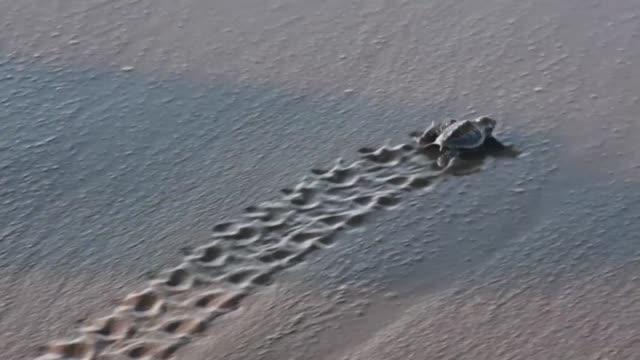 en una playa del noreste de costa rica un refugio lucha para proteger a las tortugas lora que ponen sus huevos de julio a diciembre a pocos metros de... - costa rica stock videos & royalty-free footage