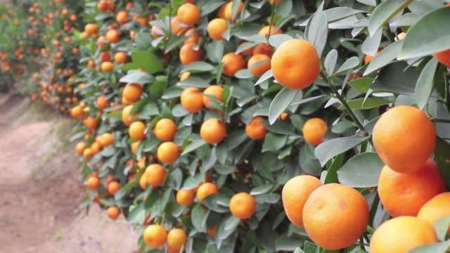 en vietnam los arboles de kumquat son un símbolo de la prosperidad y su fruta se utiliza para preparar deliciosos platos pero el uso excesivo de... - fruta stock videos & royalty-free footage