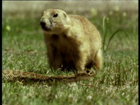 encounter between prairie dog and rattlesnake - roditore video stock e b–roll