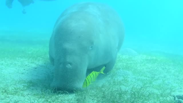endangered dugong, red sea, egypt - dugong stock videos & royalty-free footage