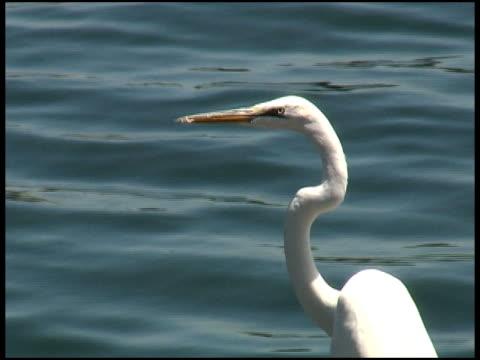 endangered great egret, white heron, kotuku, bird looks at camera - great egret stock videos & royalty-free footage