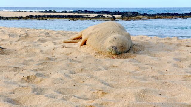 endangered hawaiian monk seal 1 kauai hawaii asleep sleeping resting napping - 自然美点の映像素材/bロール