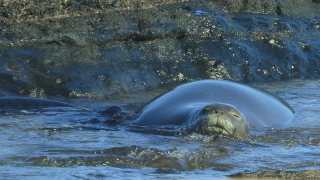 endangered hawaiian monk seal with pup - seal pup stock videos and b-roll footage