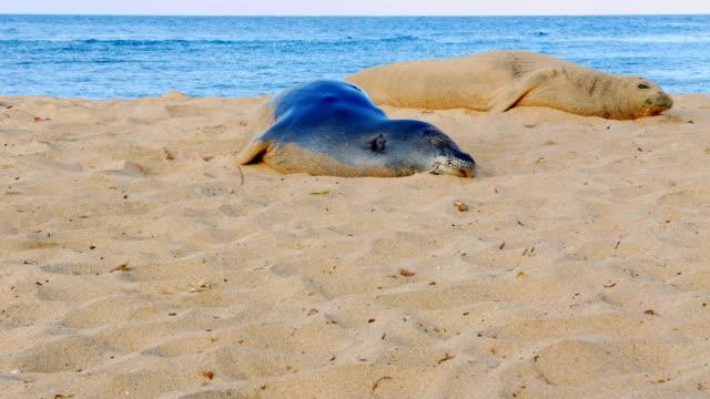 endangered hawaiian monk seals awakens and looks around kauai hawaii asleep sleeping resting napping - 水生哺乳類点の映像素材/bロール