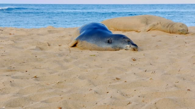 Endangered Hawaiian Monk Seals Sleeping Kauai Hawaiiasleep sleeping resting napping