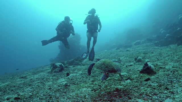 endangered hawksbill turtle approaches scuba divers - andaman sea stock videos & royalty-free footage