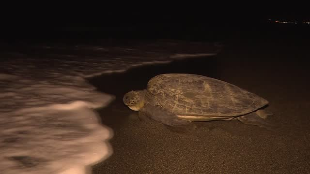 endangered loggerhead sea turtles, scientifically known as caretta caretta and green sea turtles have started to lay their eggs on turkey's southern... - caretta caretta stock videos & royalty-free footage