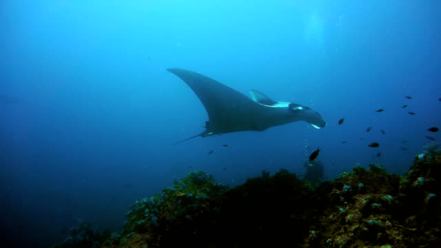endangered manta ray (manta birostris) being photographed. classed as 'vulnerable to extinction' on the iucn red list, these graceful creatures are becoming a rare sight in the wild. - symbiotic relationship stock videos & royalty-free footage