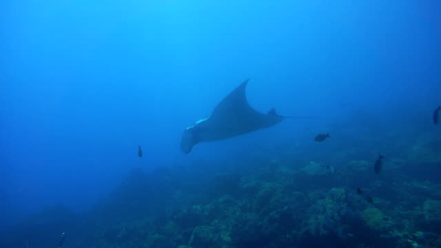 endangered manta ray (manta birostris) swimming over cleaning station. classed as 'vulnerable to extinction' on the iucn red list, these graceful creatures are becoming a rare sight in the wild. - symbiotic relationship stock videos & royalty-free footage