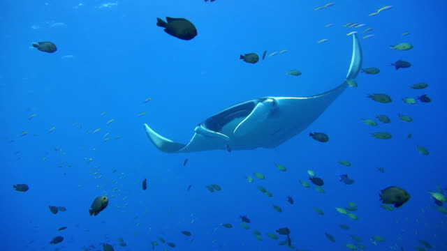 Endangered Manta Ray (Manta birostris) swimming over cleaning station. Classed as 'Vulnerable to Extinction' on the IUCN Red list, these graceful creatures are becoming a rare sight in the wild.