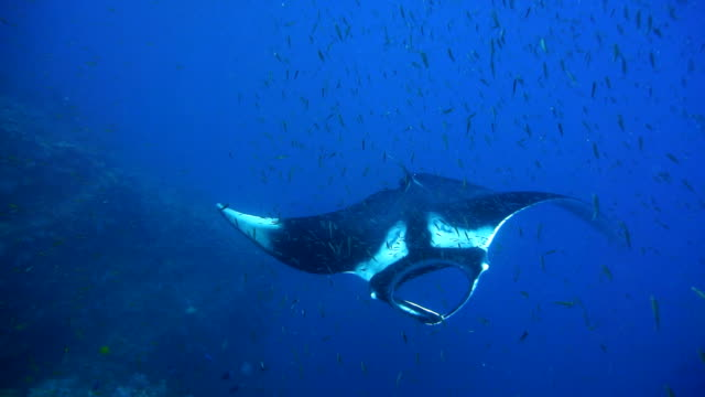 endangered manta ray (manta birostris) swimming over cleaning station. classed as 'vulnerable to extinction' on the iucn red list, these graceful creatures are becoming a rare sight in the wild. - wrasse stock videos & royalty-free footage