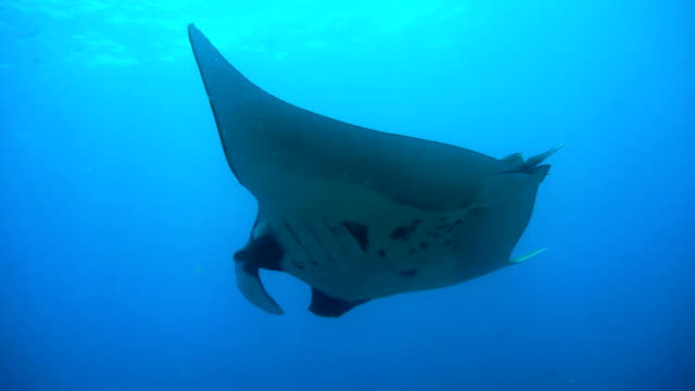 vídeos de stock e filmes b-roll de endangered manta ray (manta birostris) swimming over cleaning station. classed as 'vulnerable to extinction' on the iucn red list, these graceful creatures are becoming a rare sight in the wild. - labro