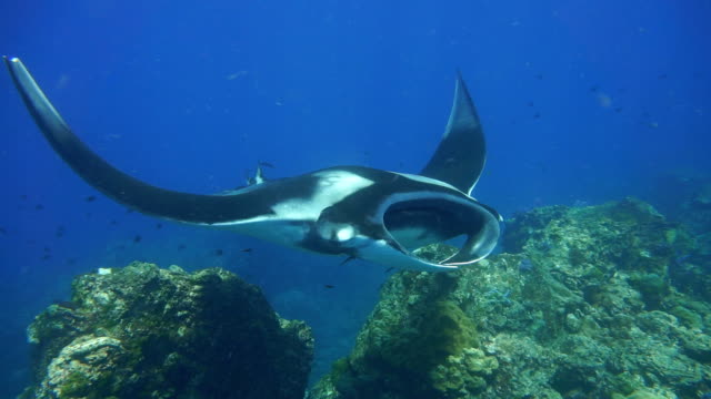vídeos de stock e filmes b-roll de endangered manta ray (manta birostris) swimming over cleaning station. classed as 'vulnerable to extinction' on the iucn red list, these graceful creatures are becoming a rare sight in the wild. - grande raia