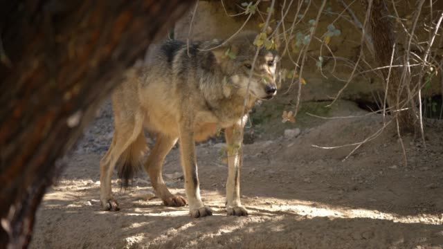 vidéos et rushes de endangered mexican wolf stands in the sonoran desert, predator wolves - arizona