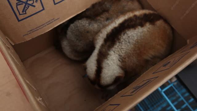 Endangered slow lorises in cardboard box on stall in animal market.