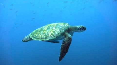 endangered species green sea turtle (chelonia mydas) swimming. - sea life stock videos & royalty-free footage