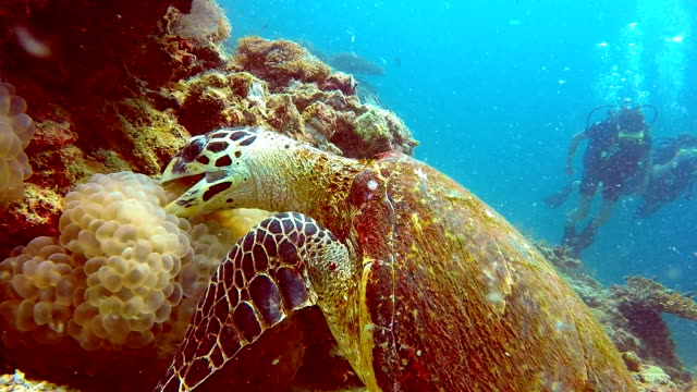 vídeos de stock e filmes b-roll de endangered species hawksbill sea turtle (eretmochelys imbricate) and scuba divers.  listed as critically endangered (facing an extremely high risk of extinction in the wild in the immediate future). these animals are extremely rare. - 30 segundos ou mais