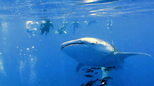 Endangered Species Pelagic Whale Shark (Rhincodon types) and Cobia (Rachycentron canadum) swimming with people.  A perfect demonstration of primal instinctive animal behaviour.