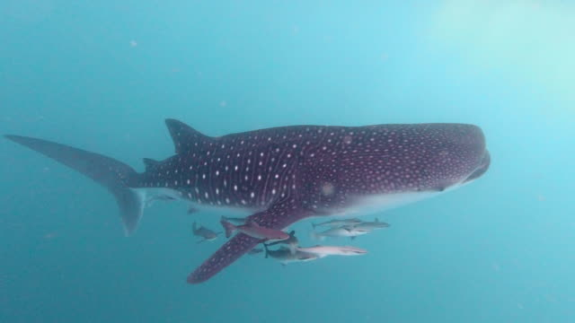 endangered species whale shark (rhincodon typus) approaching a boat in the sea - remora fish stock videos & royalty-free footage