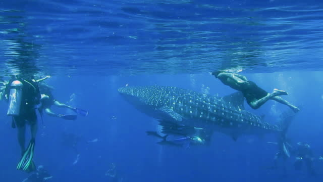 vídeos de stock, filmes e b-roll de endangered species whale shark (rhincodon typus) swimming with eco tourists - eco tourism