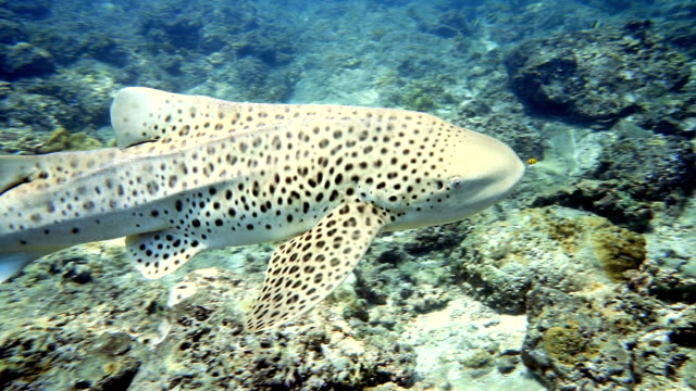 endangered species zebra leopard shark (stegostoma fasciatum) close up - pilot fish stock videos and b-roll footage