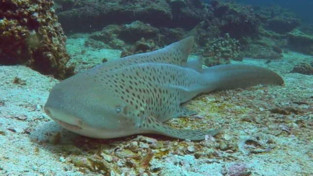 endangered species zebra leopard shark (stegostoma fasciatum) resting - deep sea diving stock videos and b-roll footage