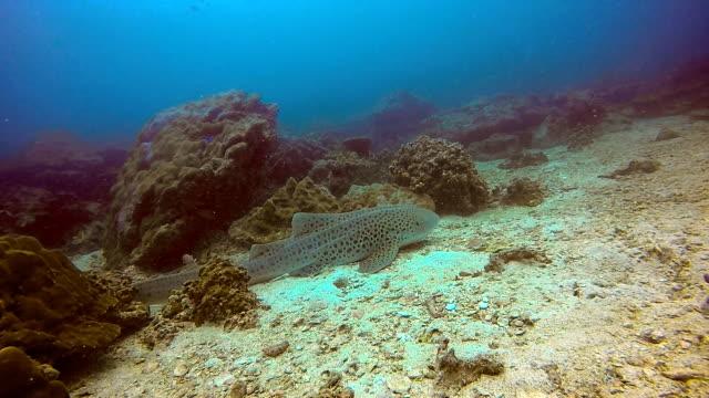endangered species zebra leopard shark (stegostoma fasciatum) resting - liver stock videos and b-roll footage