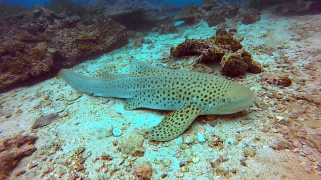 endangered species zebra leopard shark (stegostoma fasciatum) resting - animal fin stock videos and b-roll footage