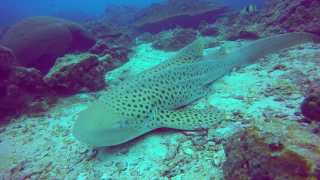 Endangered Species Zebra Leopard Shark (Stegostoma fasciatum) resting