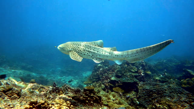絶滅危惧種のシマウマのヒョウのサメ (stegostoma fasciatum) スイミング - 永久運動点の映像素材/bロール