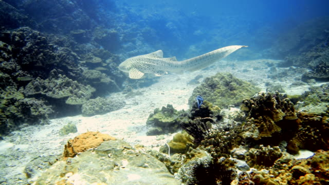 endangered species zebra leopard shark (stegostoma fasciatum) swimming - extinct stock videos and b-roll footage