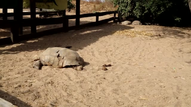 endangered turtles are put under protection in le village des tortues, the turtle village is located in sangalkam, about 35 km from dakar,in senegal... - senegal stock videos & royalty-free footage