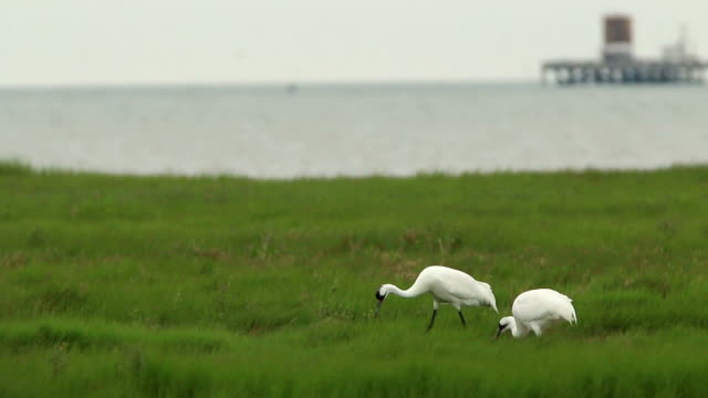 endangered wild whooping crane pair hunt aransas national wildlife refuge oil tank texas - gulf of mexico stock videos & royalty-free footage