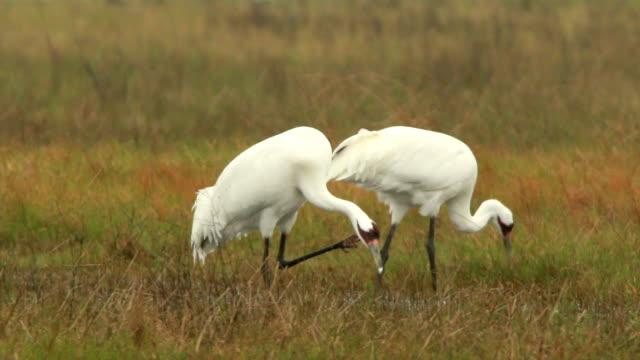 endangered wild whooping cranes feed preen foggy gulf coast marsh lamar texas - pair stock videos and b-roll footage